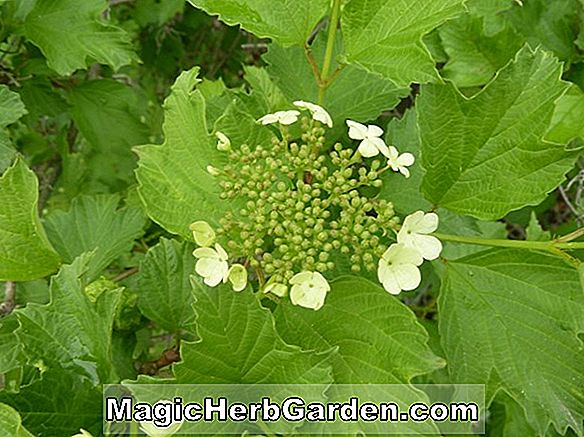 Viburnum opulus (European Cranberry Bush)