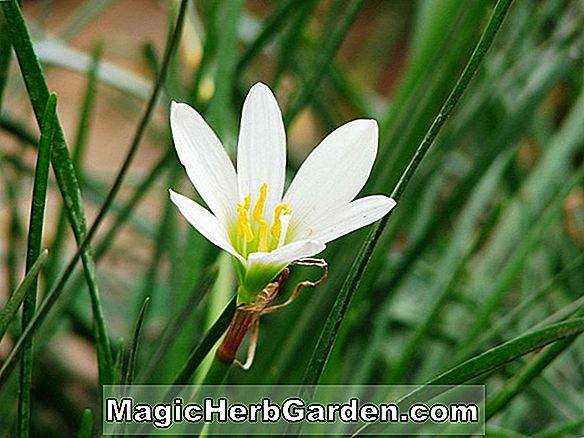 Zephyranthes candida (Rain Lily)