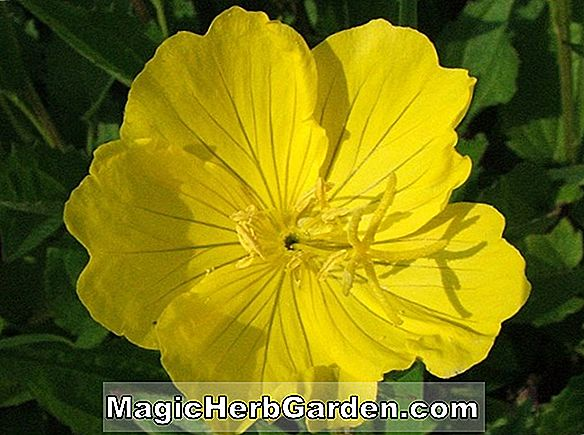 Oenothera - Plante vivace, Comment cultiver