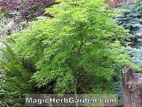 Acer palmatum (Moonfire Japanese Maple)