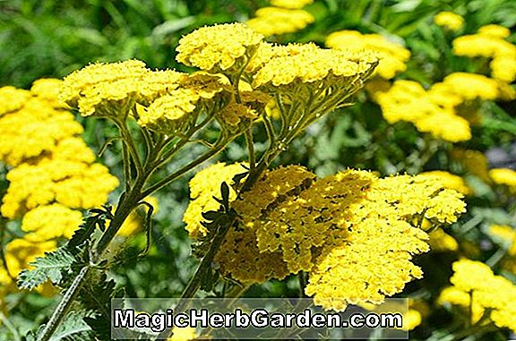 YELLING ABOUT YARROW