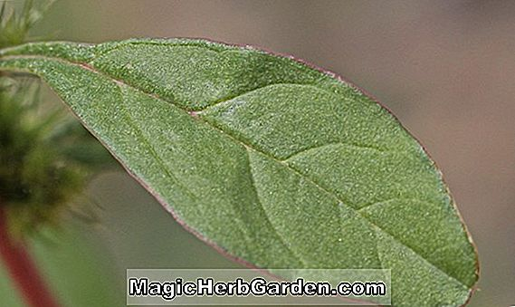 Amaranthus hybridus (Smooth Pigweed)