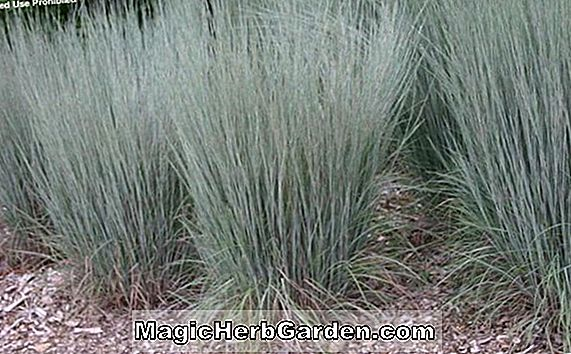Andropogon scoparius (Little Bluestem)