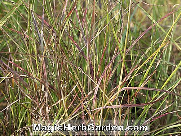 Andropogon ternarius (Split-szakállas Broom-sedge)