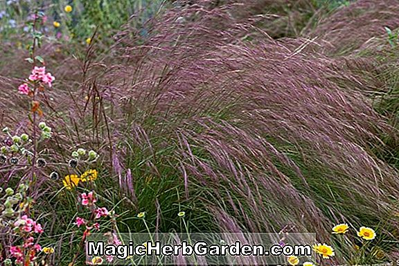 Aristida purpurea (Purple Three-awn)