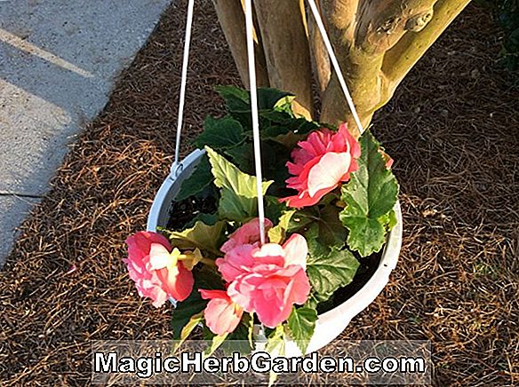 Begonia Double Vision (Double Vision Begonia)