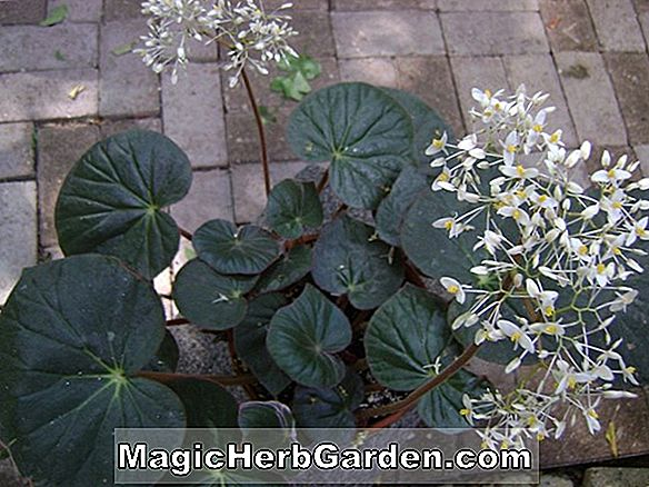 Begonia Heirloom (Heirloom Begonia)
