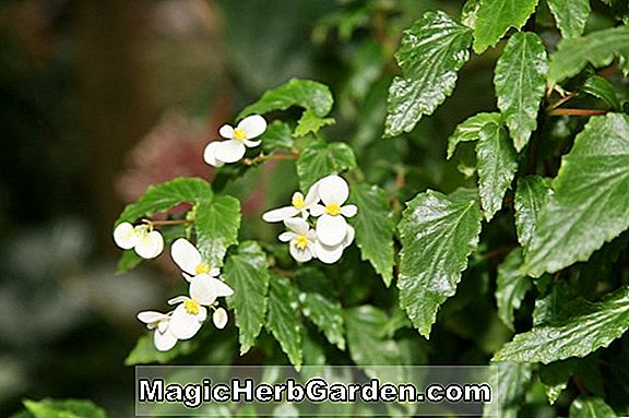 Begonia Richmondensis (Richmondensis Begonia) - #2