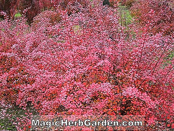 Berberis thunbergii (Pink Queen japán barberry) - #2