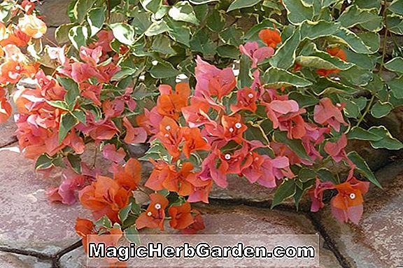 Bougainvillea (Sundown Bougainvillea)