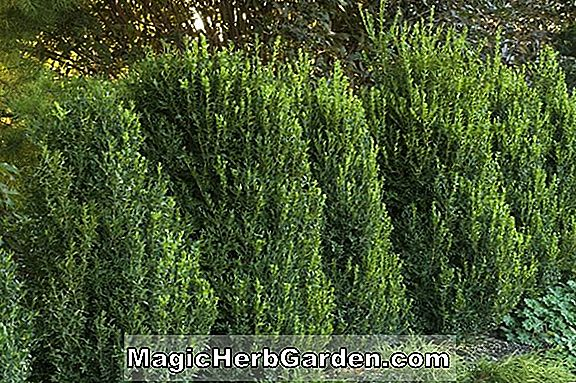Buxus (Green Mountain Boxwood) - #2