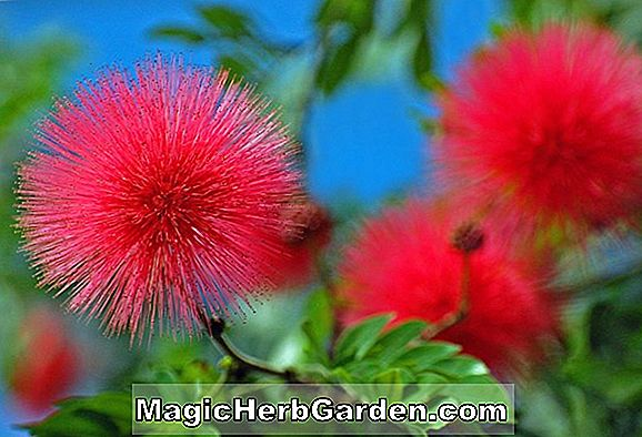 Calliandra eriophylla (Powderpuff Tree)