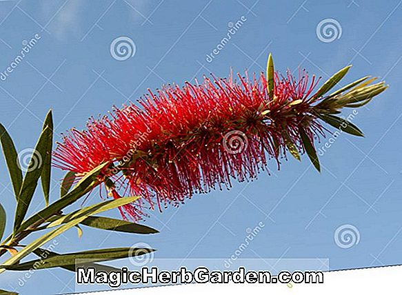 Callistemon citrinus (Crimson Bottlebrush) - #2