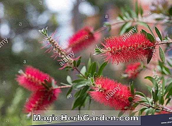 Callistemon linearis (Narrow-leaved Bottlebrush) - #2