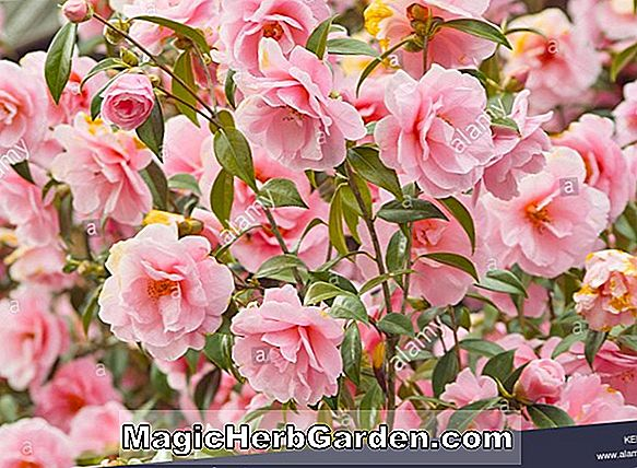 Camellia japonica (Flame Variegated Camellia)