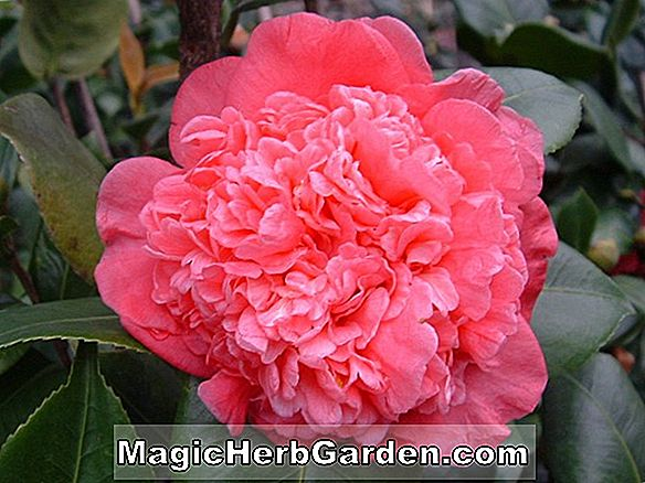 Camellia japonica (Blushing Beauty Camellia)