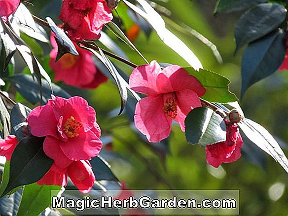 Camellia japonica (Alison Leigh Woodroof Camellia)