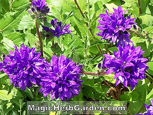 Campanula glomerata (Superba Clustered Bellflower)