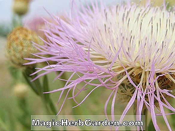 Centaurea rothrockii (Knapweed)