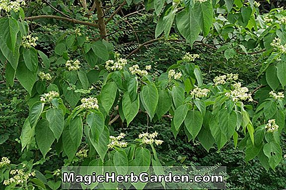 Clerodendron trichotomum (Harlequin Glorybower Clerodendron)