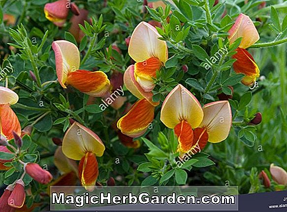Cytisus (Killiney Red Deciduous Cherry)