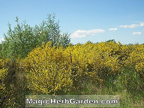 Cytisus scoparius (Common Broom)