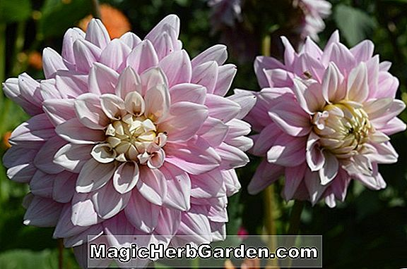 Dahlia (Unwin's Dwarf Group Dahlias)