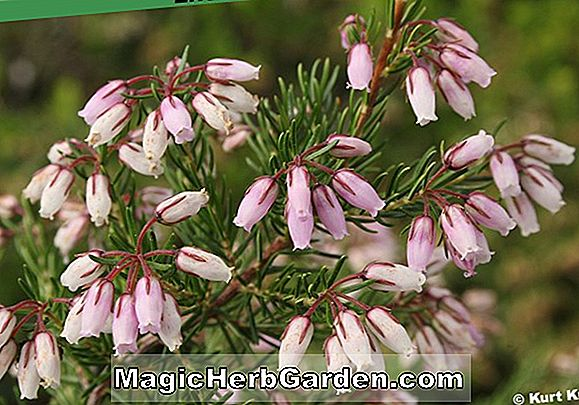 Erica cinerea (Fiddler Gold Bell Heather)