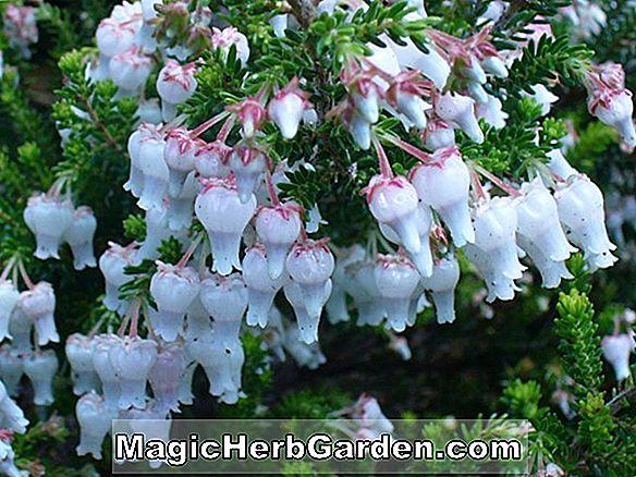 Erica cinerea (Purple Beauty Bell Heather) - #2