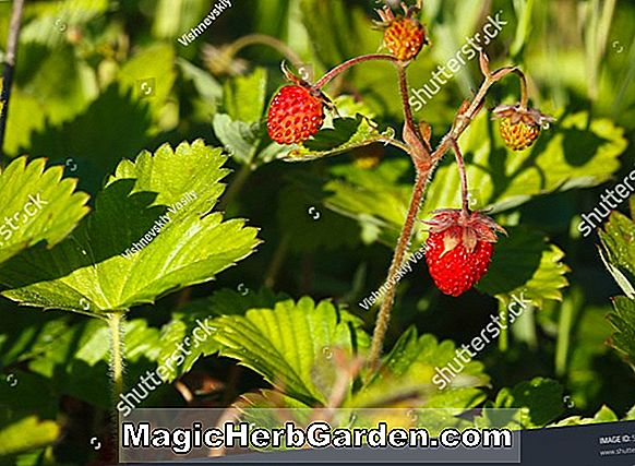 Fragaria (Red Rich Strawberry)