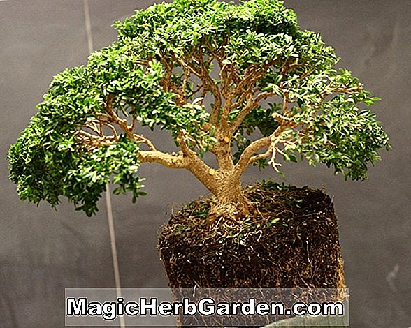 Hedera helix (Curly Locks English Ivy)