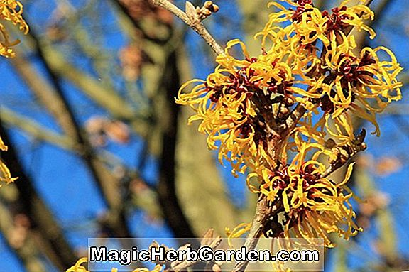 Hamamelis vernalis (Vernal Witch Hazel)