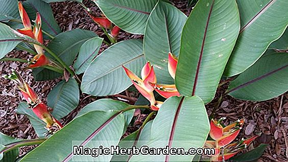 Heliconia stricta (Fire Bird Heliconia)