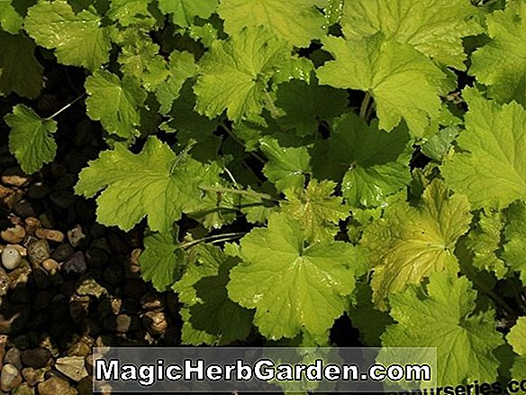 Heuchera micrantha (Pewter Moon Alumroot)