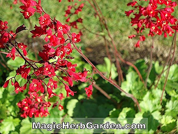 Heuchera sanguinea (Mother of Pearl Coral Bells)