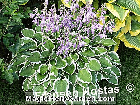Hosta (Diamond Tiara Hosta)