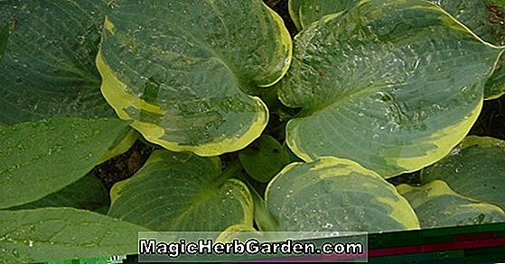 Hosta (Pizzazz Hosta)