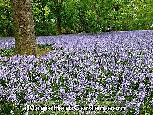 Hyacinthoides hispanica (Excelsior Spanyol Bluebell)