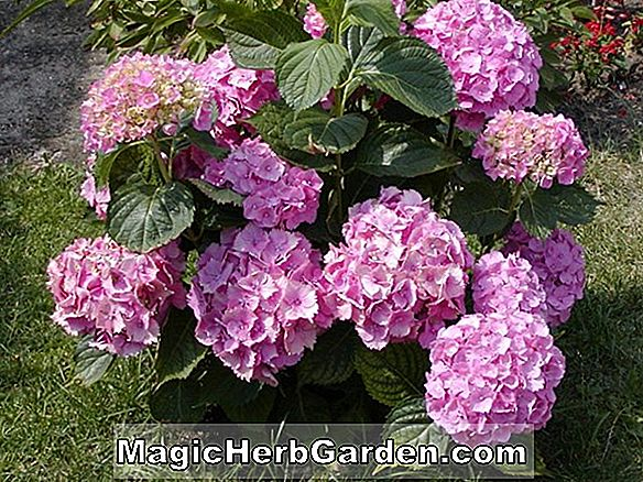 Hortenzia makrofila (All Summer Beauty Hydrangea)
