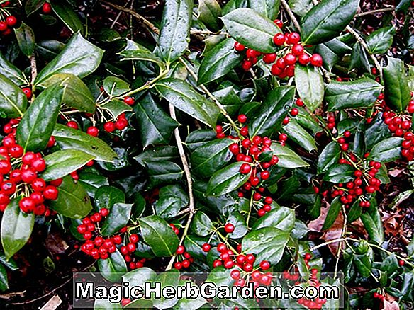 Ilex cornuta (Lottie Moon Holly)