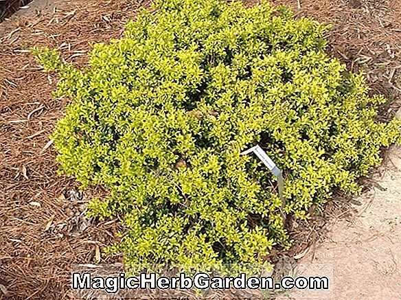 Ilex crenata (Butler Japanese Holly) - #2