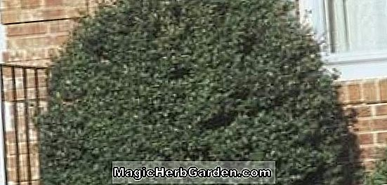 Ilex crenata (Carefree Holly) - #2