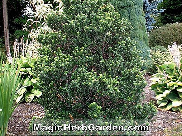 Ilex crenata (Dwarf Pagoda Japanese Holly) - #2