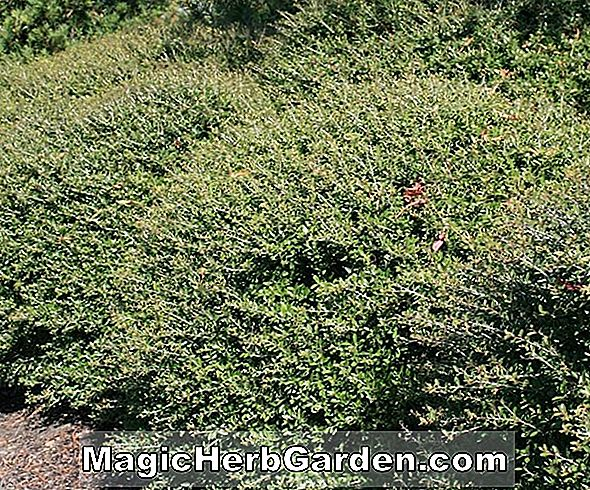 Ilex crenata (Foster No. 2 Holly) - #2