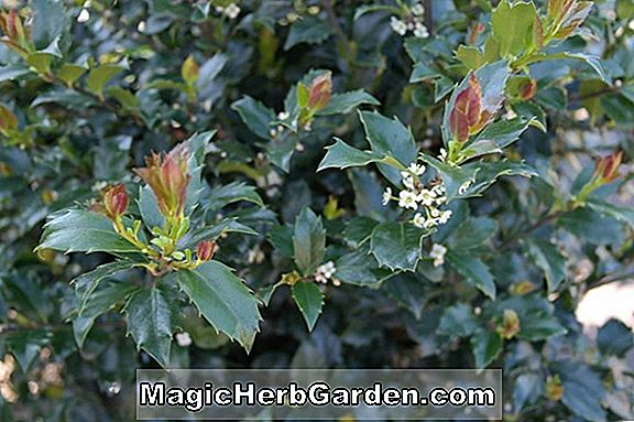 Ilex meserveae (Blue Maid Meserve Holly)