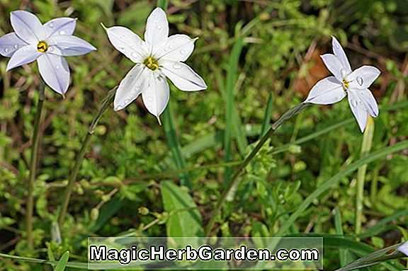 Ipheion uniflorum (Wisley Blue)