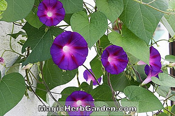 Ipomoea tricolor (Flying Saucers Morning Glory)