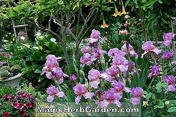 Iris (Marmalade Skies Intermediate Bearded Iris)