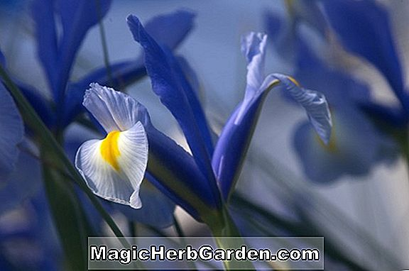 Iris (Reddy Maid Iris)