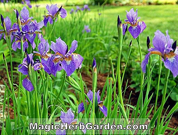Iris virginica (Bearded Iris)